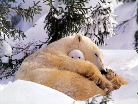 Veckans sötaste bild: Isbjörn myser med sin unge