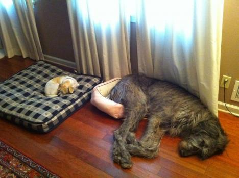 Två hundar som fått något lite om bakfoten