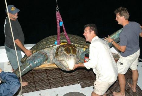 Galet stor sköldpadda