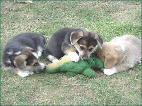 Varning för känsliga: Hundar äter upp krokodil
