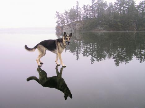 En hund som går på vatten
