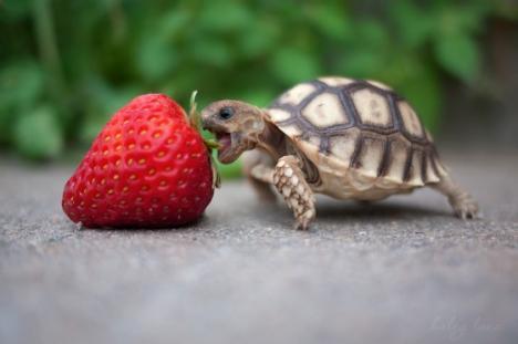 Liten sköldpadda äter jordgubbe