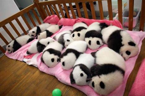 Pandabebisar bjuder på söthetschock