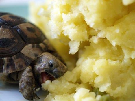 Sköldpadda som äter potatismos