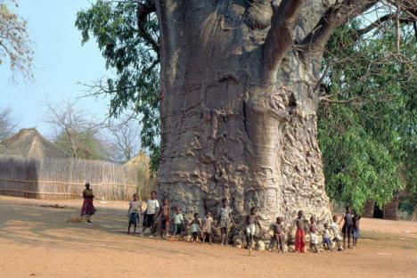 Världens största träd !