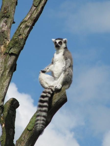 Mediterande lemur