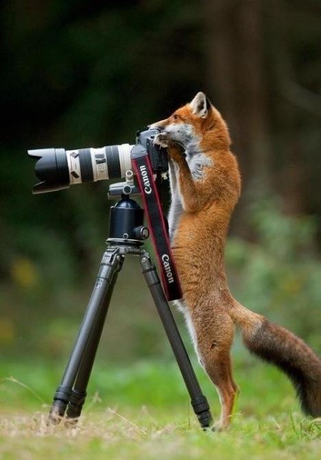 Vem sa att rävar inte är smarta?