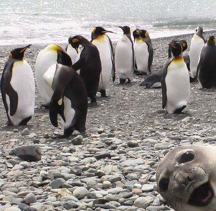 Linslus gör pingviner säl(l)skap