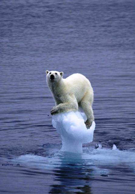 Isbjörn drabbad av växthuseffekten
