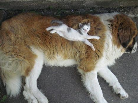 Katt använder hund som säng