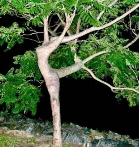 Träd som dansar balett