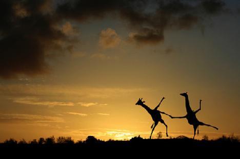 Världens lyckligaste giraffer